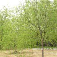 专业绿化基地 常年供应优质2cm垂柳