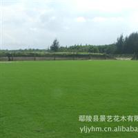 大面积供应绿化草坪  耐践踏 成活率高