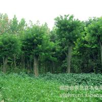 大量供应正宗国槐  专业的绿化苗木基地