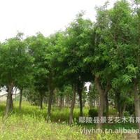 常年供应规格3-20公分国槐