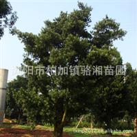 促销大量供应高品质罗汉松树 乔木罗汉松