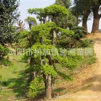 销售大量优质园林绿化乔木榆树 成活率高