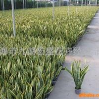 大量供应虎尾兰(sansevieria)、室内观叶植物(图)