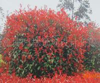 重庆重庆生产红叶石楠等绿化苗木