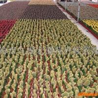 供应仙人球(cactus)