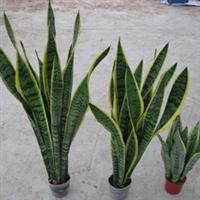 供应金边虎尾兰Sansevieria、室内不雅观叶植物