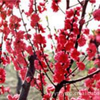 红叶碧桃  长期大量出售批发红叶碧桃基地 红叶碧桃