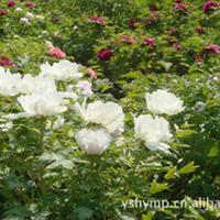 白色富贵牡丹 富贵牡丹  长期直销各种颜色牡丹 牡丹