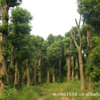 优质供应绿化苗木15-50公分移栽香樟