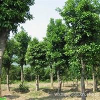 大量低价优质供应绿化工程苗木 香泡、香橼