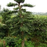 低价优质供应绿化景观苗木 精美造型榆树