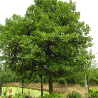 长期低价出售绿化工程苗木 3-15公分杜英