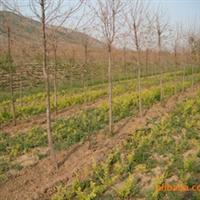 绿化苗木 山东 济南提供大叶女贞等绿化苗木