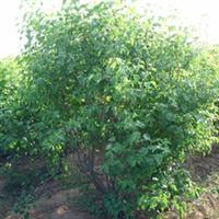 绿化苗木 山东 济南大量提供丁香等绿化苗木