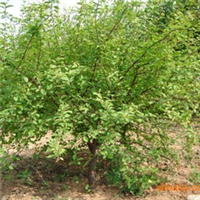 绿化苗木 山东 济南 提供高干榆叶梅,矮干榆叶梅