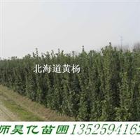 长期供应优质北海道黄杨 各种黄杨