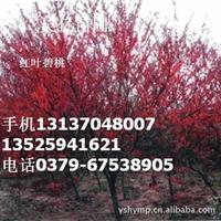 红叶碧桃  长期大量出售批发红叶碧桃基地 红叶 碧桃