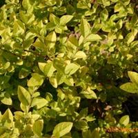 绿化苗木 山东 济南大量提供金叶女贞等绿化苗木