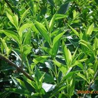 绿化苗木 山东 济南大量供给3年生连翘