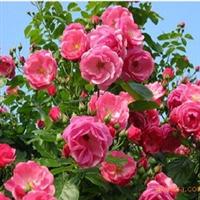 绿化苗木 山东 济南大量供给月季苗等绿化苗木