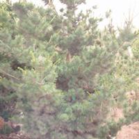 绿化苗木 山东 济南大量提供大规格五针松规格齐全