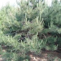 绿化苗木 山东 济南大量提供各种大小规格的油松