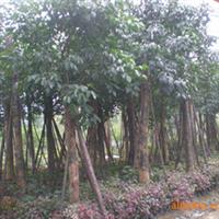 供应乔木移植重阳木等绿化苗木