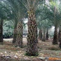 供应银海枣(中东海枣)、加拿利海枣等绿化苗木