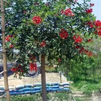 供应鸡冠刺桐等绿化苗木