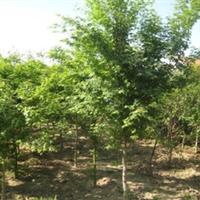 供应绿化苗木---青枫----山东海洼苗圃
