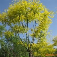 绿化苗木---金叶槐----山东海洼苗圃