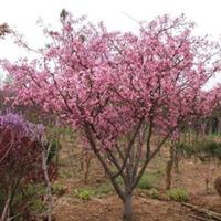 从面向全国长期供应绿化苗木----垂丝海棠