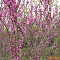 大量供应紫荆各种绿化苗木--山东海洼苗圃