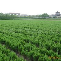 基地大量供应湖南灌木类绿化田木小龙柏和龙柏球