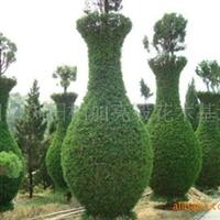 基地供应乔木类艺术造型苗木造型龙柏苗和龙柏球