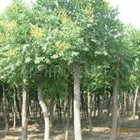 基地供应各种规格乔木类绿化苗木移栽栾树和实生全冠栾树