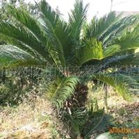 基地出售乔木类绿化苗木苏铁   规格齐全  欢迎订购