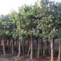 【低价直销】供应各种规格杨梅树   优质果树