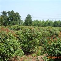 供应冠幅80-150cm的八月桂球    灌木类绿化苗木