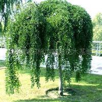 基地优价供应乔木类绿化苗木龙爪槐   规格齐全