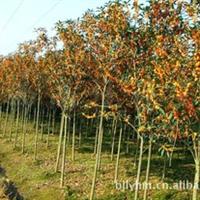 湖南苗圃长期供应2—15公分高杆丹桂