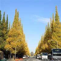 本基地大量供应银杏树