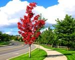 绿化苗木--- 红枫 红枫单株