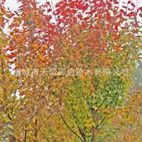 彩色苗木——红枫 红叶 红枫树