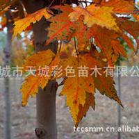 夕阳红枫 秋焰红枫 十月红枫 红叶亮丽