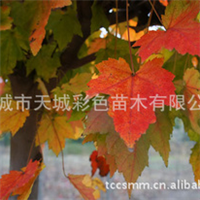 秋焰红枫 十月红枫 红叶亮丽