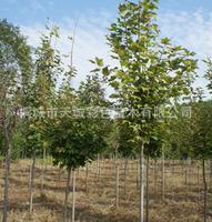 专业供应优质苗木绿色红枫