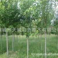 直销优价红枫,北美枫香优良品种彩叶树