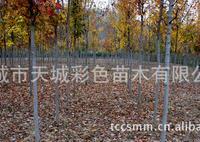 绿化精品夕阳红,秋焰红,彩叶树,树叶色彩艳丽,树干整洁
