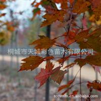 优价销售高档精品彩色苗木--美国改良红枫【价格优惠】